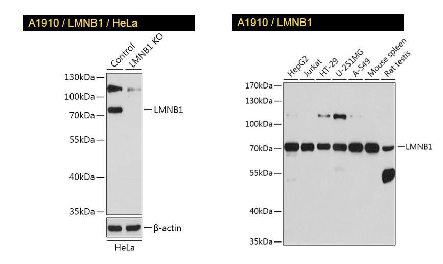 KO-validated LMNB1 antibody