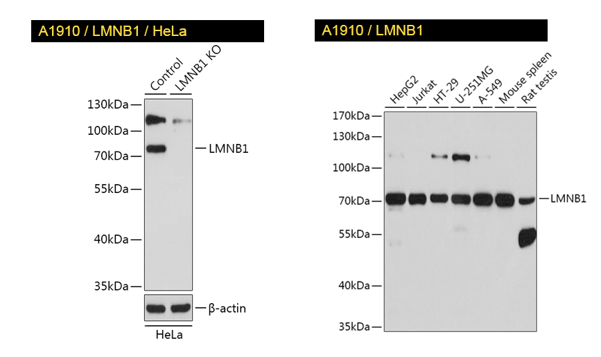 KO-validated LMNB1 antibody