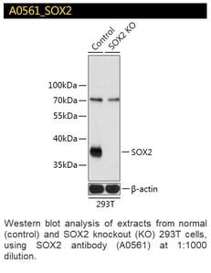 A0561 SOX2 Polyclonal Antibody