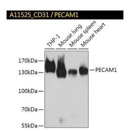 A11525_CD31-PECAM1