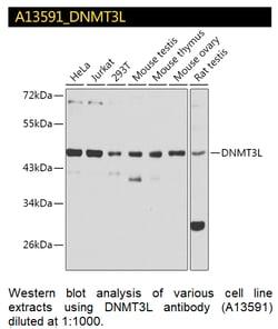 A13591 DNMT3L Antibody