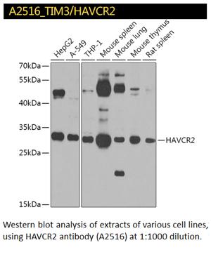 A2516 TIM3 aka HAVCR2 Polyclonal Antibody
