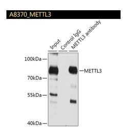 A8370_METTL3_IP