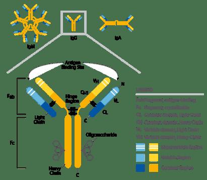 Antibody structural diagram