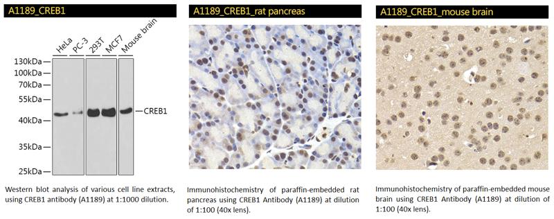 CREB1 Antibody-1