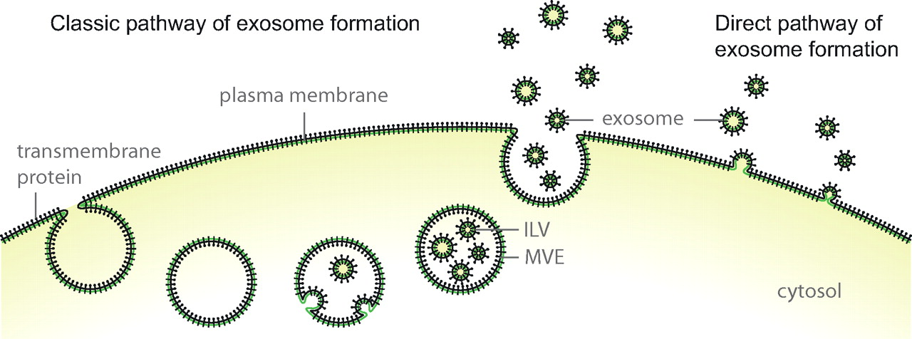 Exosome formation through intraluminal vesicles
