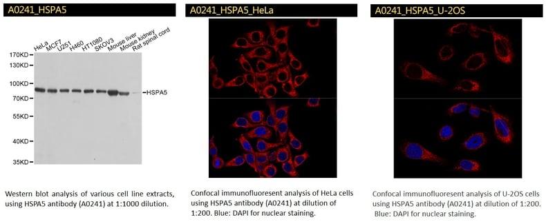 HSPA5 antibody