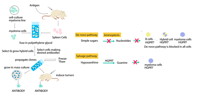Mouse Hybridoma mAb Production