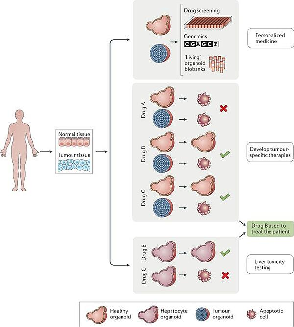 Figure from Organoids in Cancer Research