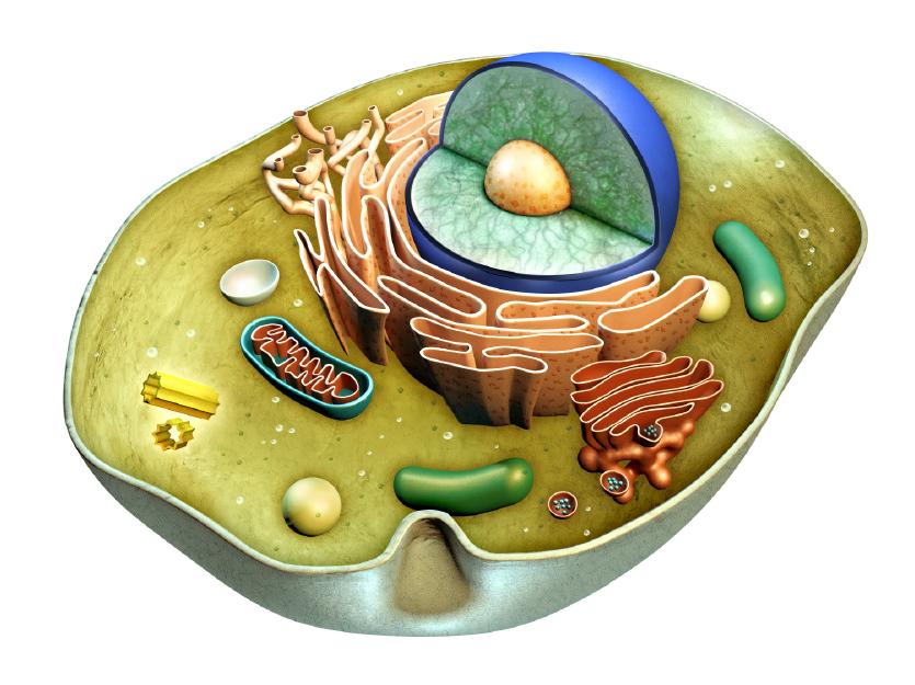 endoplasmic reticulum-01