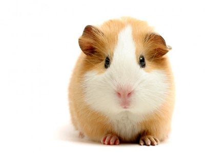 Guinea pigs in research